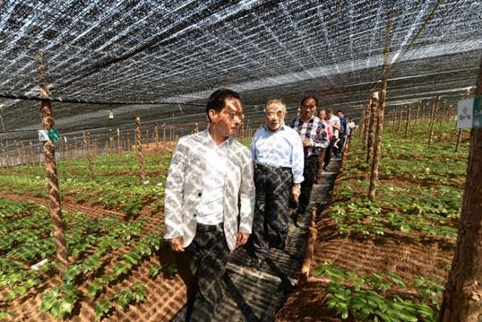 历经三代匠人耕作,云南苗乡无公害三七首获批国家植物新品种权