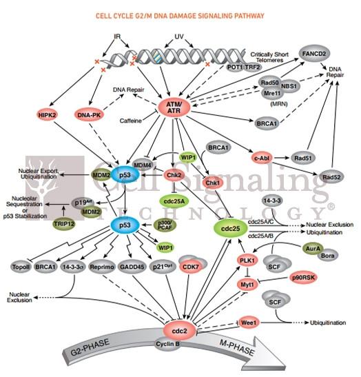 Akt位点那么多,看看磷酸化抗体领导者CST怎么选