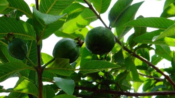 """这些植物都可调节血糖,谁是真正的""""植物胰岛素""""?"""